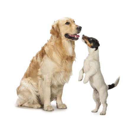 Golden retriever and jack russell terrier on a white background の写真素材