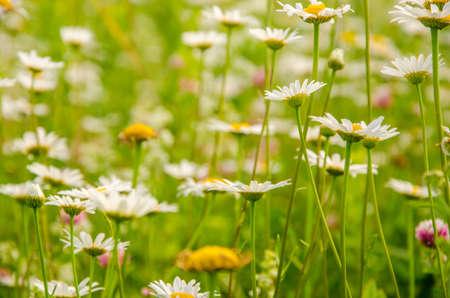 daisy flowers on a summer morning. pollen on a camomile on a summer morning. chamomile hot summer. pollen on daisy summer day