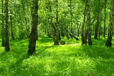 Summer green forest with birch trees.