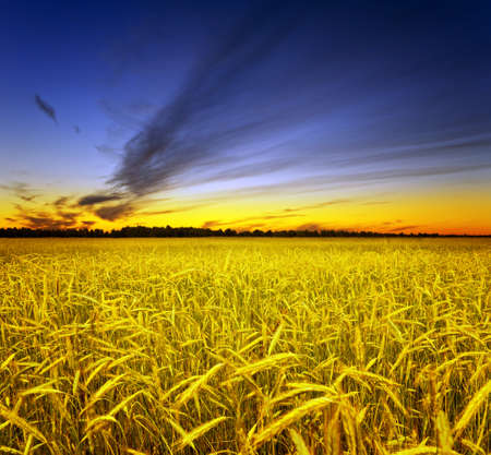 Yellow rye field. Autumn landscape.