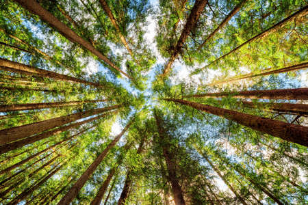Bottom view of tall old trees in evergreen primeval forest. Jiuzhaigou nature reserve (Jiuzhai Valley National Park), Sichuan province, China. Blue sky with clouds in background.