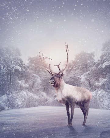 Reindeer standing in the snow