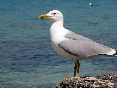 Photo for Seagull living at the coast - Royalty Free Image