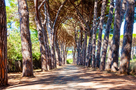 Photo pour Long arched pine trees alley walkway in the natural forest park near the Tenda Gialla beach, Orbetello, Province of Grosseto, Italy - image libre de droit