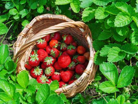 basket of strawberry