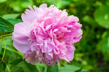 peony. Ornamental plant with large flowers, the primarily. white, pink or bright red.