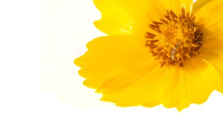 Foto de Flower for the flowerbed, yellow Cosmos is a genus, with the same common name of cosmos, consisting of flowering plants in the sunflower family - Imagen libre de derechos