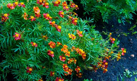 Photo for Marigold No annual is more cheerful or easier to grow than marigolds. These flowers are the spendthrifts among annuals, bringing a wealth of gold, copper, and brass into our summer and autumn gardens - Royalty Free Image