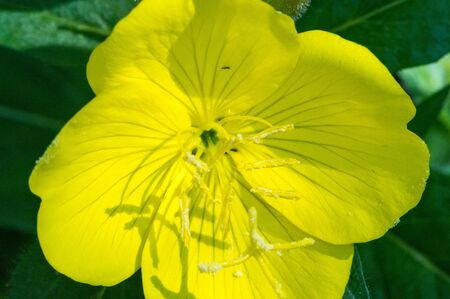 Foto de Oenothera may have originated in Mexico and Central America. Some Oenothera plants have edible parts. The roots of O. biennis are reported to be edible in young plants. - Imagen libre de derechos