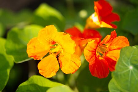 Photo pour Tropaeolum, commonly known as nasturtiums literally nose twister  native of South and Central America, The flowers are bisexual and zygomorphic, - image libre de droit