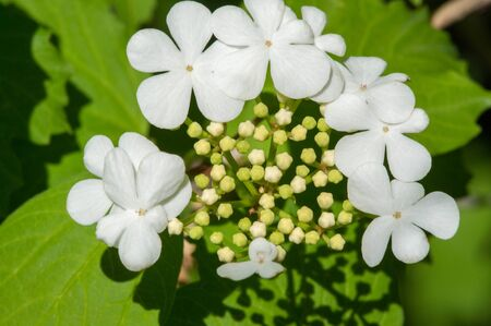 Kalina flowers. Viburnum opulus In Russia the Viburnum fruit is ...