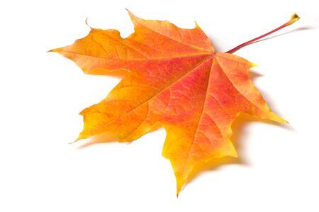 Photo pour Autumn maple leaf - image libre de droit