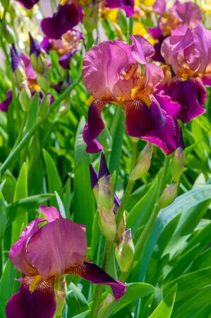 Photo for Iris Deservedly popular, it has delicate petals, slightly fragrant flowers with spectacular disheveled petals in May and June and fans of gray-green leaves in the shape of a sword.  - Royalty Free Image