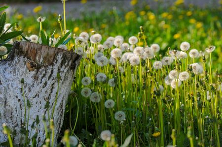 Taraxum dandelion, used as a medicinal plant. round balls of silvery crested fruit that run upwind. These balls are called balls or clocks in both British and American English.