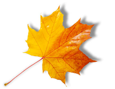 Photo for Autumn sketch with maple leaves, yellow red orange colors of leaves, photograph isolated on white background - Royalty Free Image