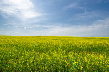 Photo pour Yellow field. Rapeseed is the third largest source of vegetable oil and the second largest source of protein flour in the world. - image libre de droit