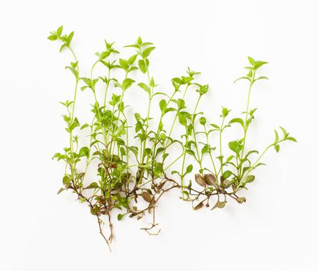 Photo pour Periwinkle small forest ith root on a white background. It is used in pharmacology and herbal medicine for soothing and hormone-restoring medications. - image libre de droit