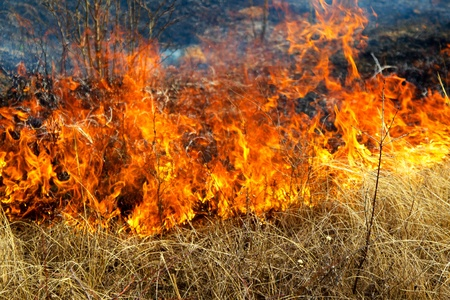 Dry grass burning in the forest, spring day, strong wind