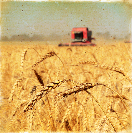 Ears of wheat against the harvesters and field, harvesting wheat  Vintage background