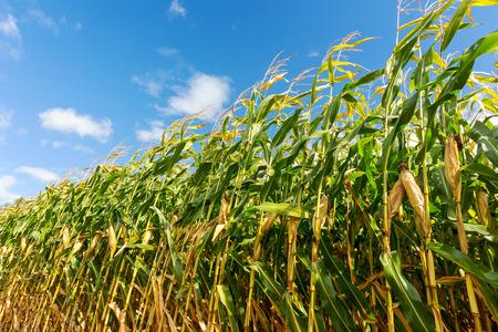 Foto für Corn field, corn on the cob. Selective Focus - Lizenzfreies Bild