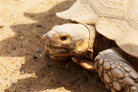 Very large turtle with powerful columnar legs and a relatively small head. Slow life of land tortoises in the biopark of Odessa.