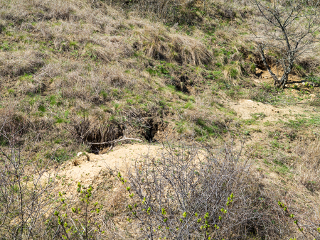 Colony of foxes on slopes of mountain hills.