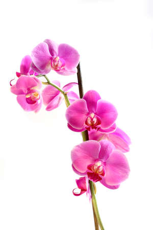 Flower beautiful pink orchid -  phalaenopsis  isolated  over white