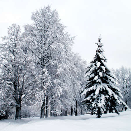 Winter landscape . Forest in a hoarfrost and snowdrift