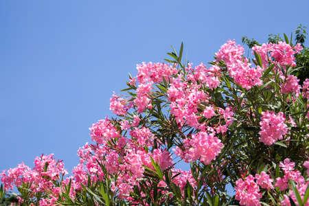 Photo pour Bright pink oleander (nerium) against a blue sky in the summer garden - image libre de droit