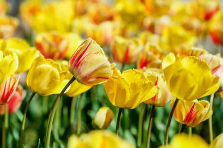 Photo for A mix serie of red,yellow, white and purpule tulips. - Royalty Free Image