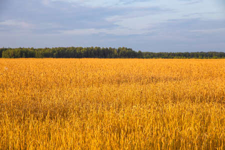 Photo pour wheat field with ripe ears of corn on a background of blue sky with white clouds - image libre de droit