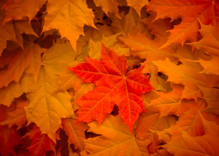 Photo for maple leaves yellow, orange and red flowers with large bright background - Royalty Free Image