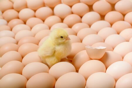 Image of a large group of chicken eggs and one small newborn fluffy chicken among it, as a symbol of the birth of an idea, primacy, success.