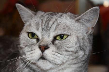 Photo pour beautiful silver scottish straight cat portrait - image libre de droit