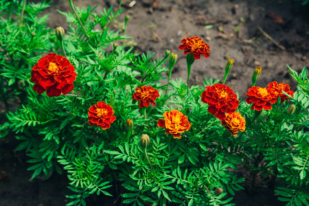 Beautiful bright orange Tagetes patula or French marigold flowers growing in the garden. Summer nature in bloom.の素材 [FY310110299485]