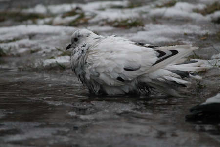 white pigeon bird play in cold water