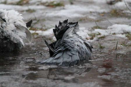 dove swim in crystal water