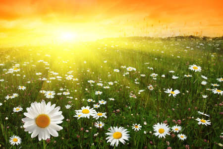 Photo for Flower field and sunset. - Royalty Free Image
