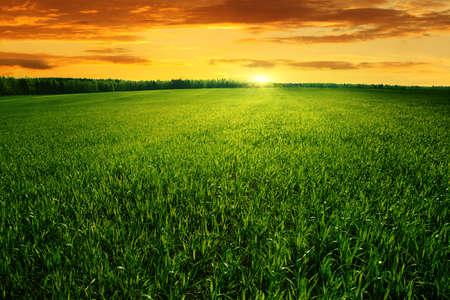 Foto de Field of green grass and bright sunset   - Imagen libre de derechos