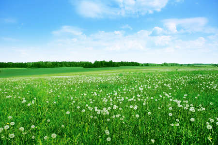Field of white dandelions under blue sky