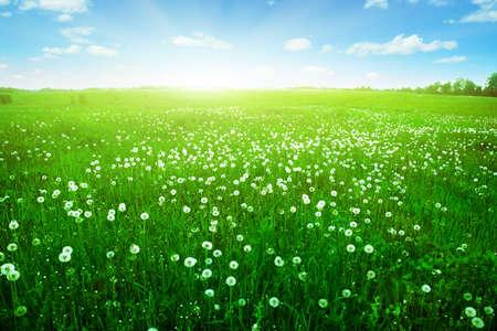 Sunlight in blue sky over dandelion field