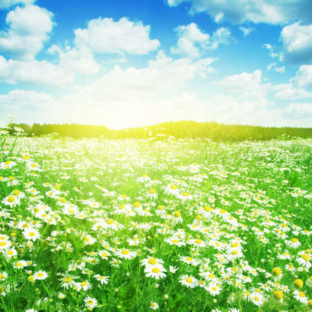 Summer landscape with daisies on sunny day