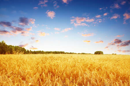 Ripe wheat field and colorful sunset.