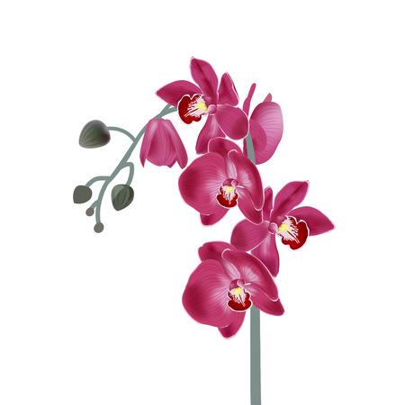 Illustration pour Vector illustration with pink orchids. Digital draw tropical plant, realistic vector botanical illustration for design - image libre de droit