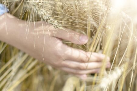 Photo pour The hand touches the ears in the cereal field - the concept of country, nature and healthy eating - image libre de droit