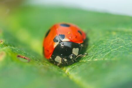 Photo pour Red ladybug on a green leaf in the garden - image libre de droit