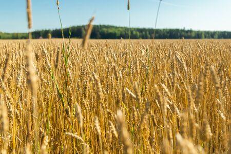 Photo pour Wheat field on the farm at sunny autumn day - image libre de droit