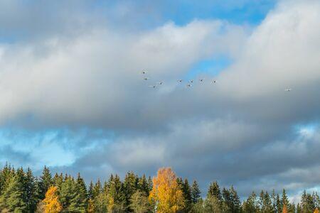 Photo pour White swans flying in a blue cloudy sky, Finland - image libre de droit