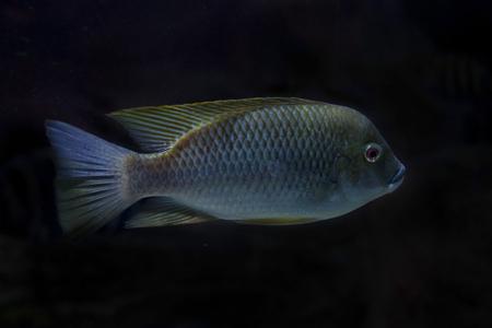 Photo pour Cameroon tilapia (Oreochromis camerunensis). - image libre de droit