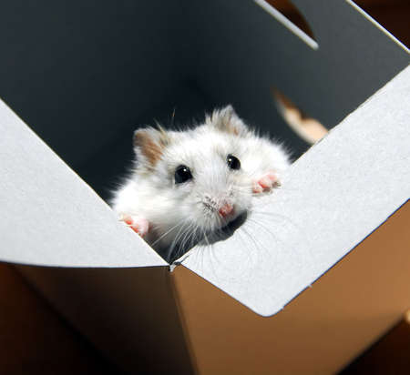 White dwarf hamster standing up in a box
